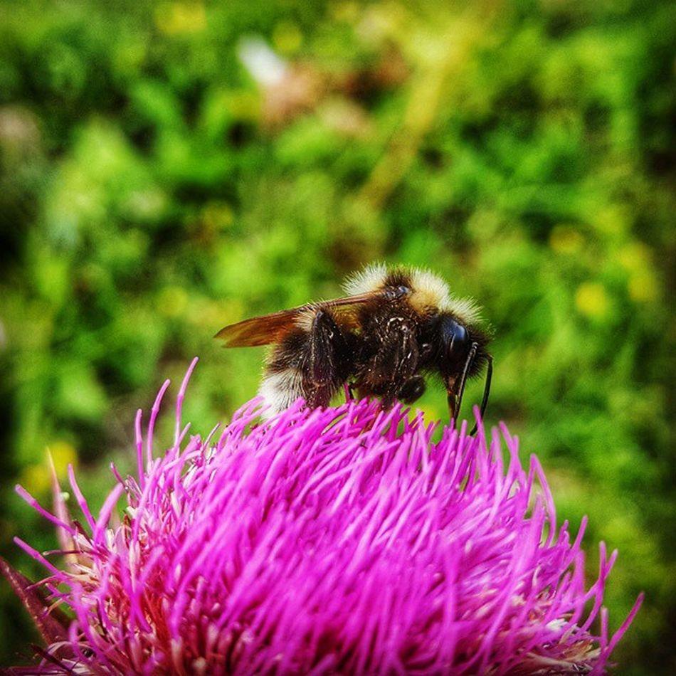 čmrlj Bumblebee Photography Macro galaxys6