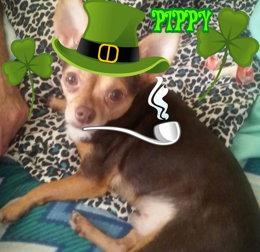 Showcase March Pippy gettng ready for St. Patrick's Day. (Showcase March) Chihuahua Lovers. Expession Dog Daze Day. Colorful. Festval Colors.