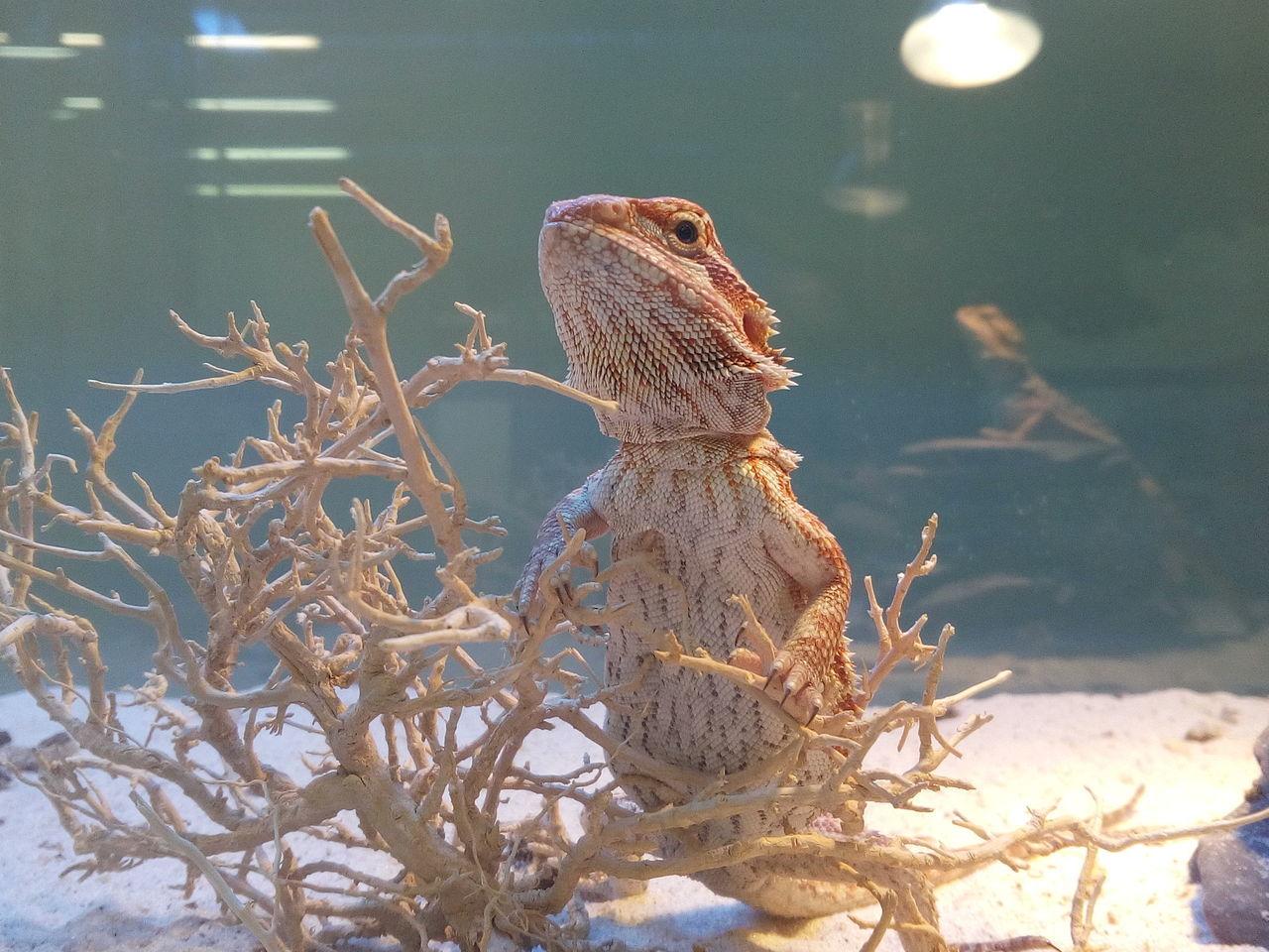 Pogona Agamalizard Agama Lizards Agama Animal Themes