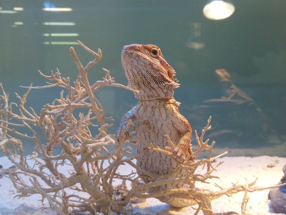 Pogona Agamalizard Agama Lizards Agama Animal Themes