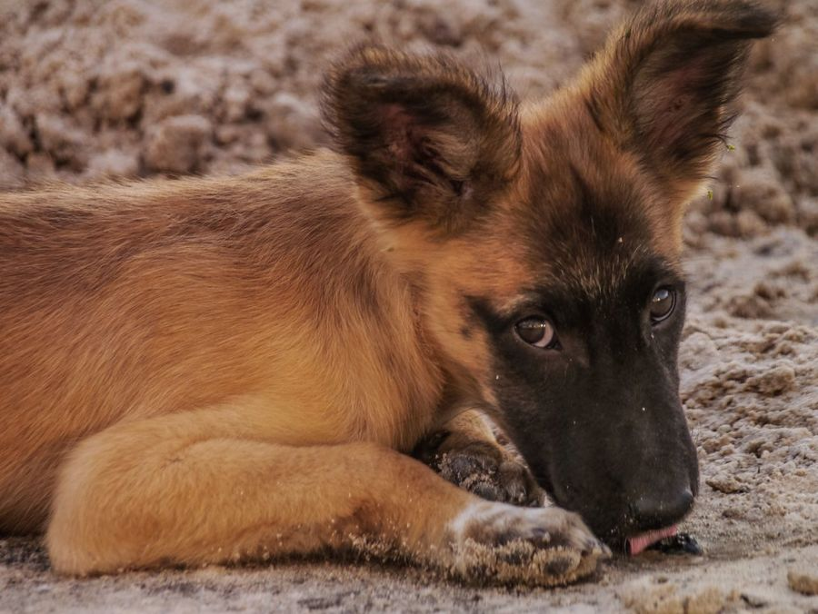 One Animal Animal Themes Lying Down No People Animals In The Wild Mammal Nature Outdoors Lion - Feline Close-up Day Mask Malinois Zorro