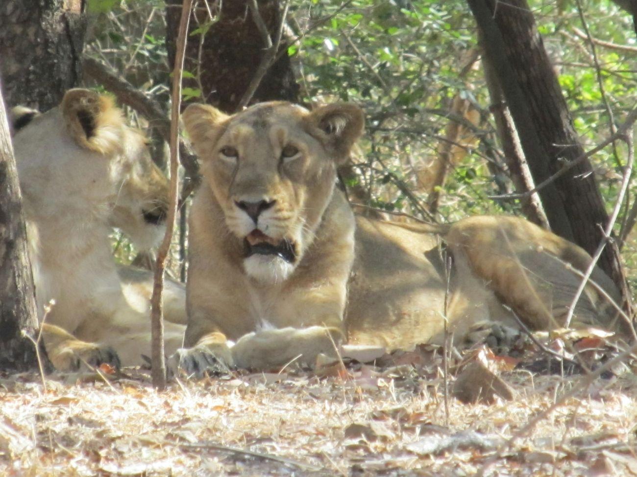 Indian Lion Indian Lion Sasan Gir Gir Lion Sasan Gir's Lion Lions Safari Safari Park Gujarat