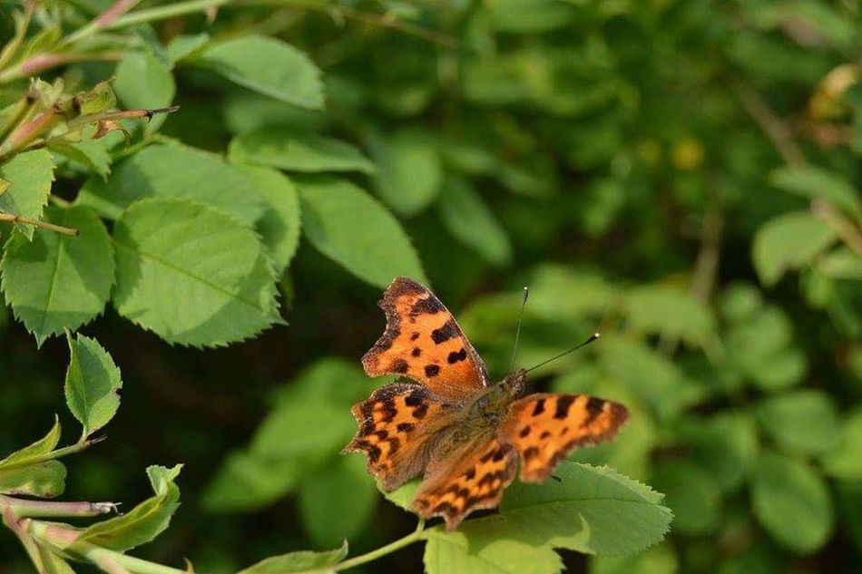 Baterfly Summertime Flying Nature Nature Photography Natural Beauty Orange Color Suny Day Slovakia Nature Baterfly Garden