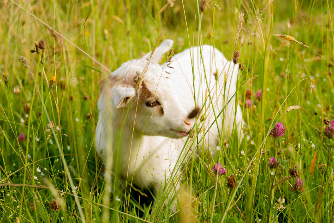 Animal Themes Beauty In Nature Field Goatling Grass Grassy Green Color Mammal Nature No People