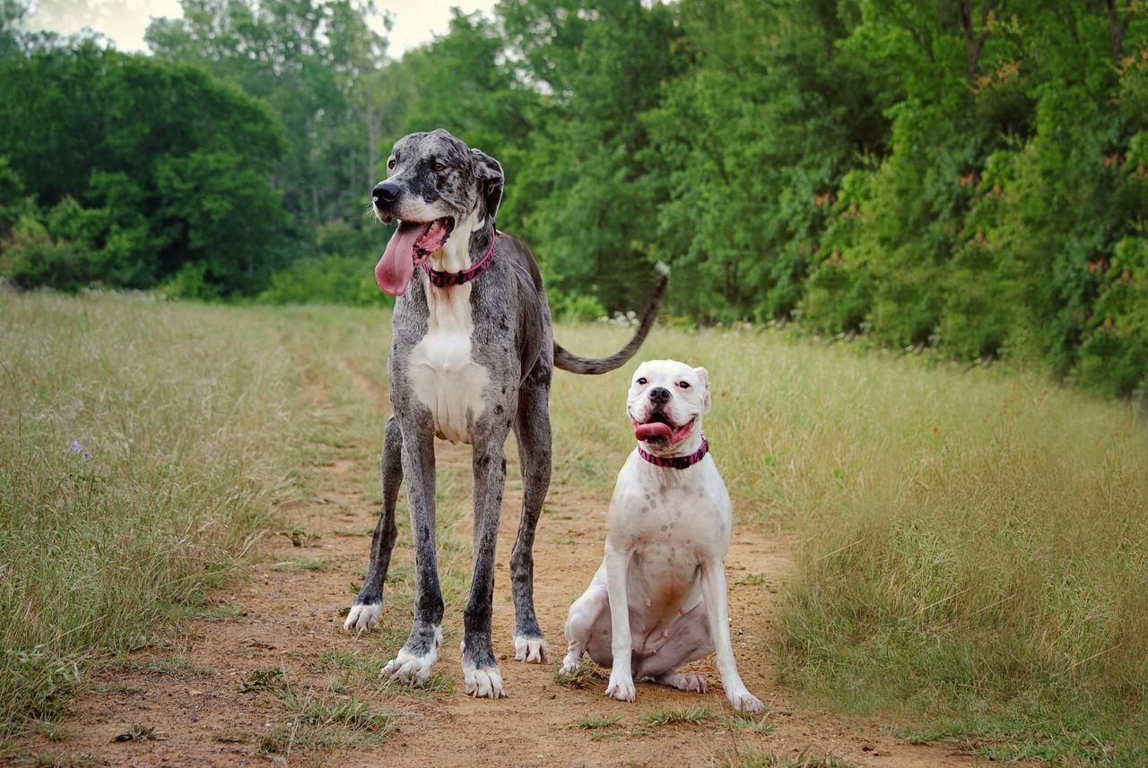 Beautiful stock photos of great dane, American Bulldog, Animal Themes, Animal Tongue, Canine