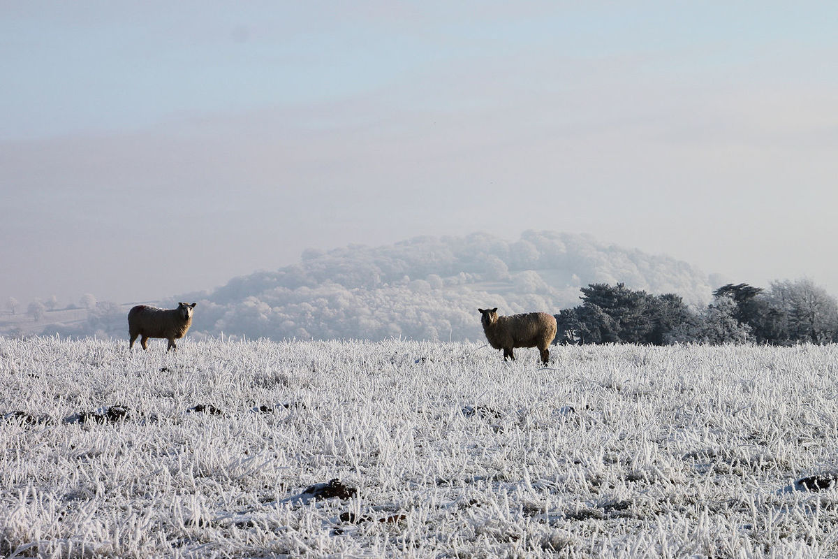 Frozen sheep Animal Themes Baa Baa Baa White Sheep Beauty In Nature Cold Temperature Frost Frosty Frosty Mornings Frozen Frozen Nature Landscape Livestock Livestock Nature Outdoors Scenics Sheep Sheep Wool Sheep🐑 Snow Winter Winter Winterscapes Wintertime Wooly