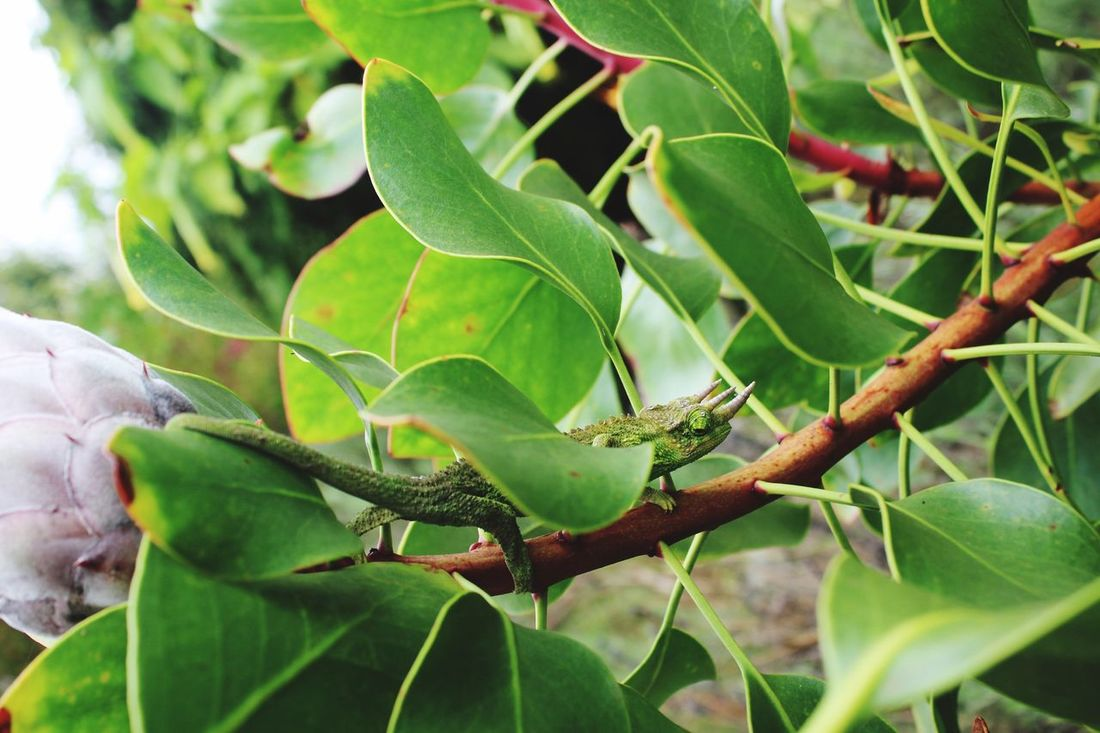 Hawaii Maui Jackson's Chameleon Chameleon Green Green Color In The Wild EyeEm Nature Lover Beauty Of Nature Beauty In Nature Nature Outdoors Reptile The Great Outdoors - 2017 EyeEm Awards