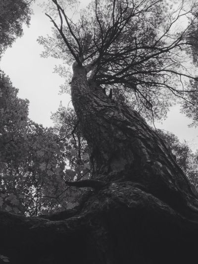 Giant dancing tree. - at Perfect Corner , Forest .