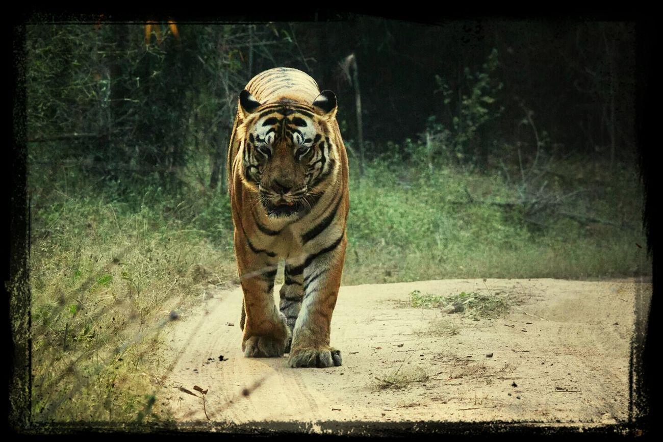 Tiger Bigcat Bandavgragh
