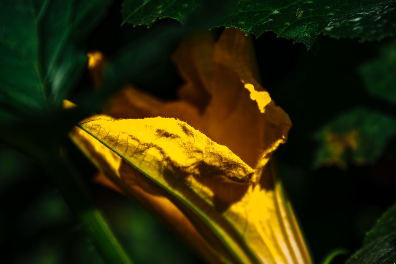 Beauty In Nature Botany Change Close-up Day Detail Focus On Foreground Fragility Green Color Growth Leaf Leaf Vein Leaves Natural Pattern Nature No People Outdoors Plant Season  Selective Focus Tranquility Yellow Zucchini Flower Zuchetti Zuchinni