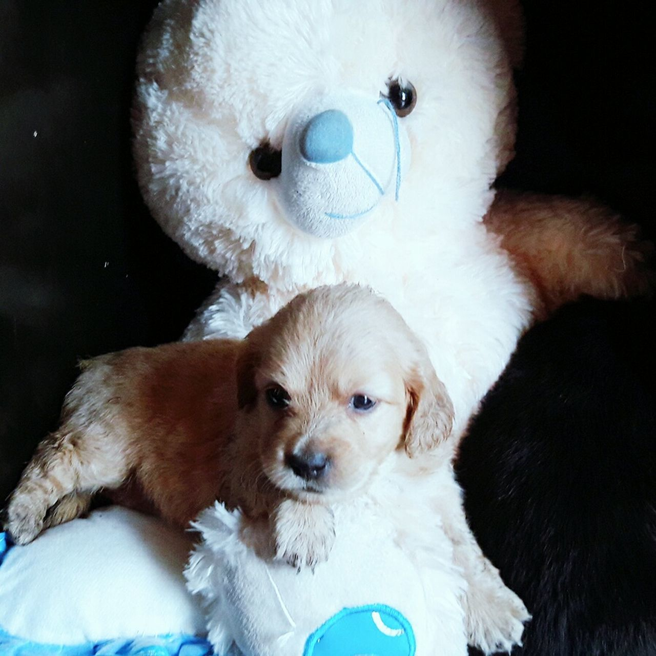 dog, toy, pets, mammal, stuffed toy, indoors, domestic animals, cute, no people, animal themes, looking at camera, puppy, portrait, close-up, teddy bear, childhood, day