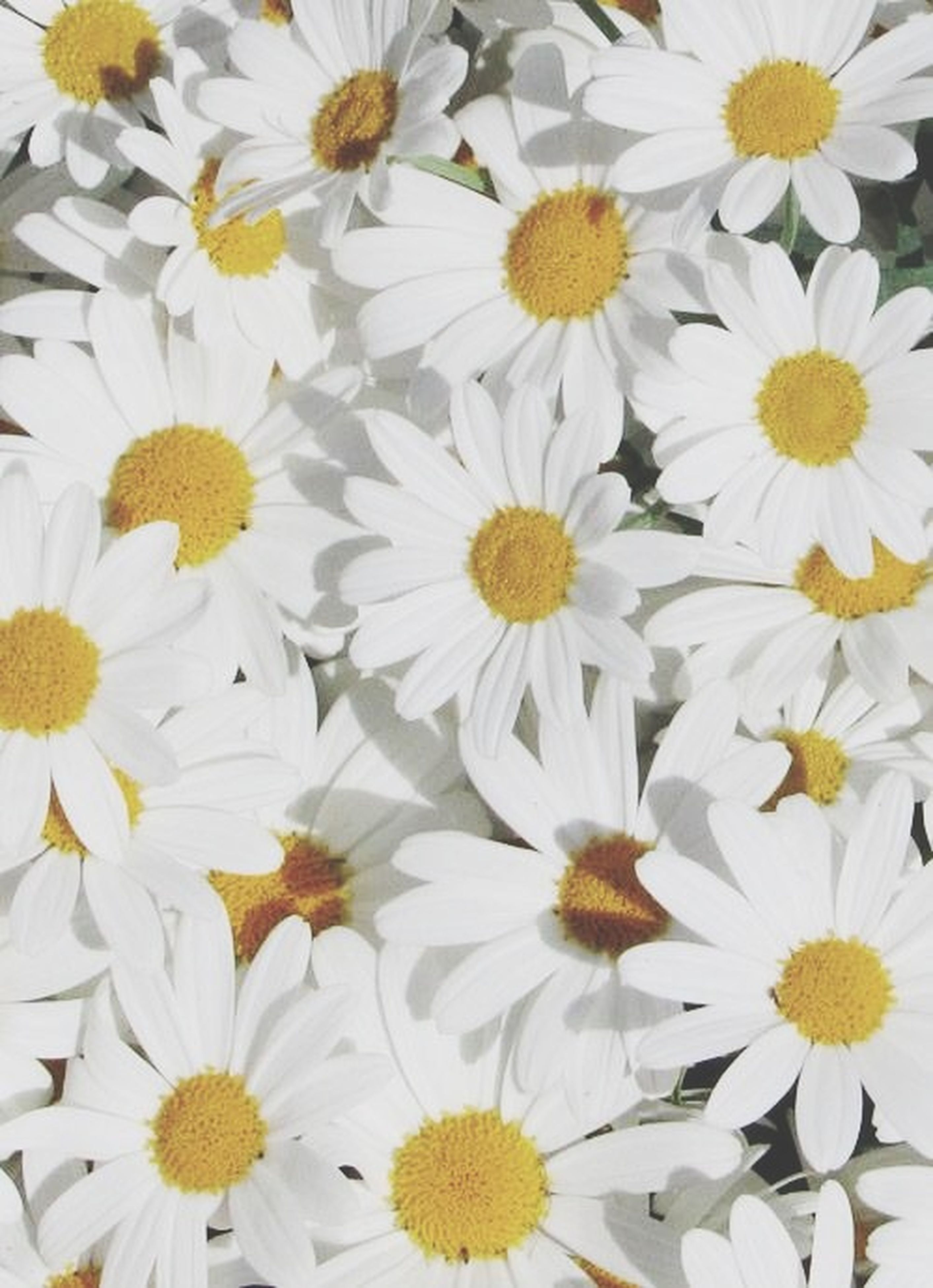 flower, freshness, petal, fragility, flower head, beauty in nature, white color, daisy, growth, blooming, yellow, pollen, nature, full frame, backgrounds, close-up, high angle view, abundance, plant, in bloom