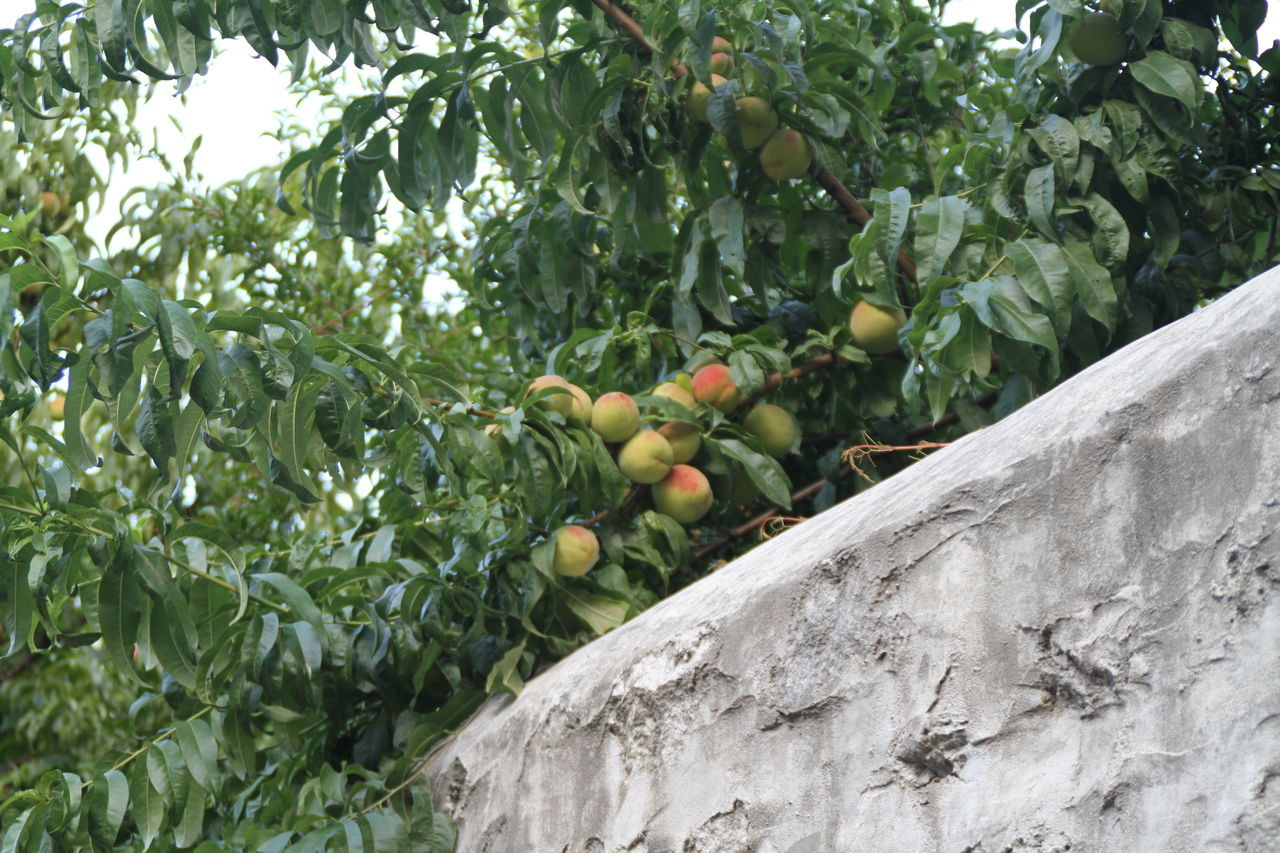 fruit, growth, tree, outdoors, green color, day, leaf, food and drink, food, no people, nature, freshness