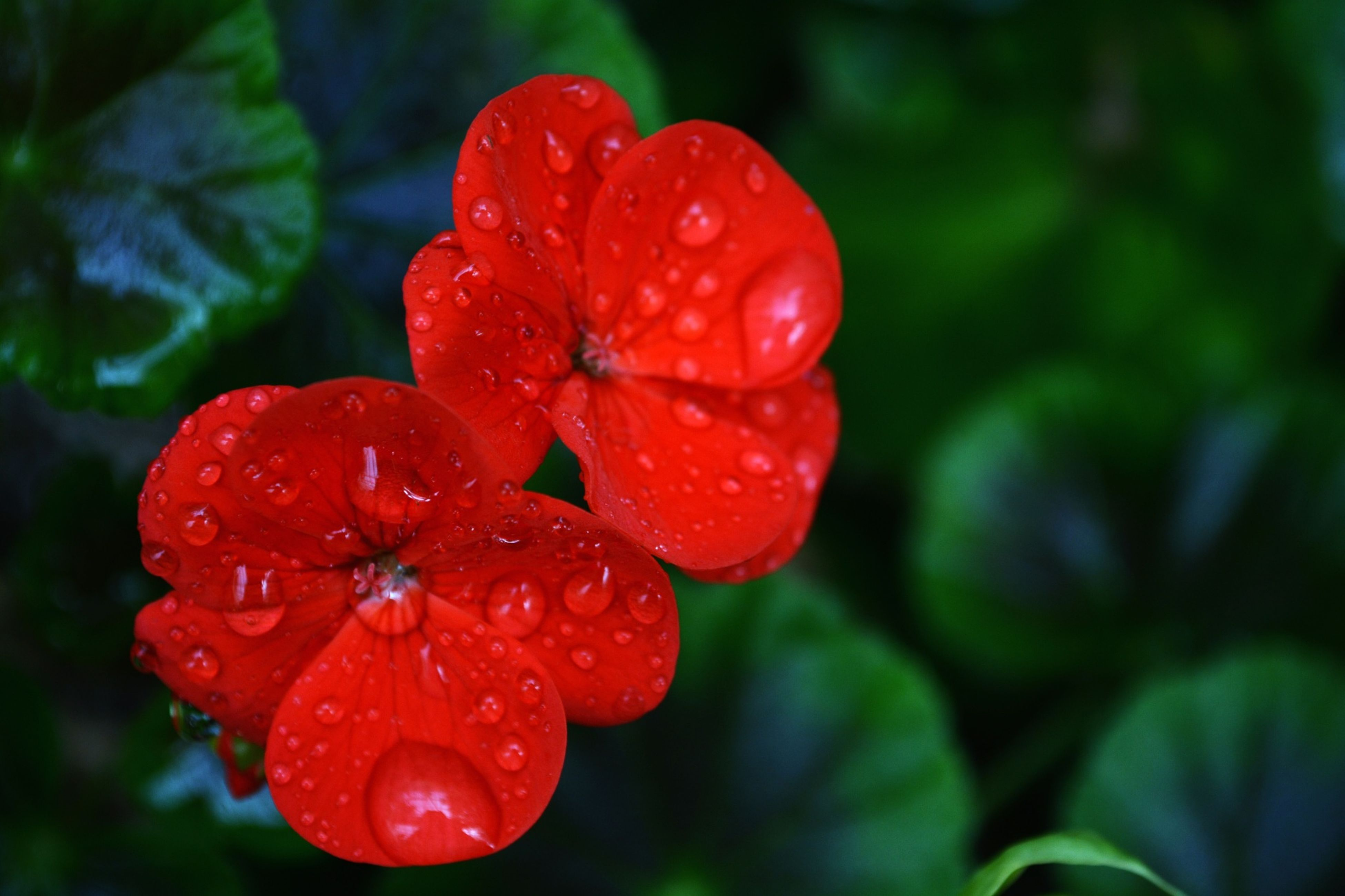 red, freshness, flower, drop, petal, fragility, growth, close-up, wet, flower head, beauty in nature, focus on foreground, water, plant, nature, dew, blooming, single flower, leaf, in bloom