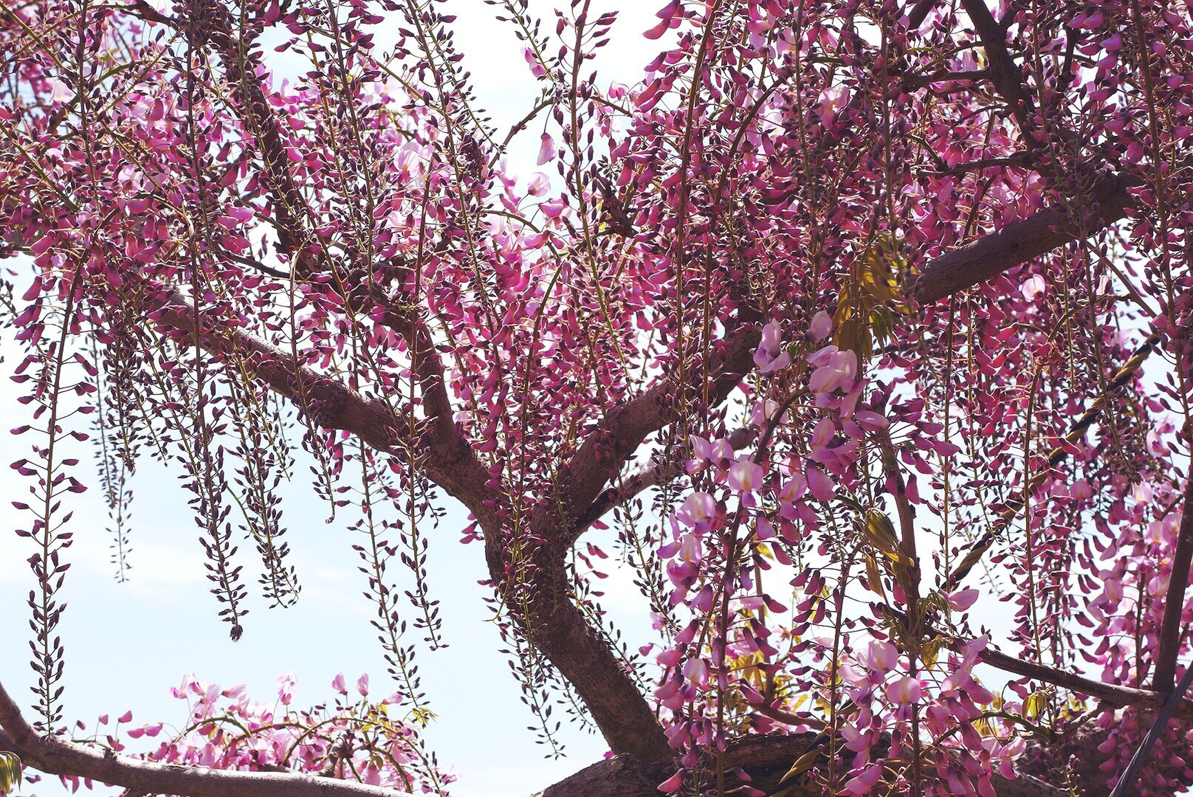 flower, tree, low angle view, branch, growth, pink color, nature, beauty in nature, freshness, fragility, sky, clear sky, blossom, day, outdoors, built structure, blooming, building exterior, in bloom, no people