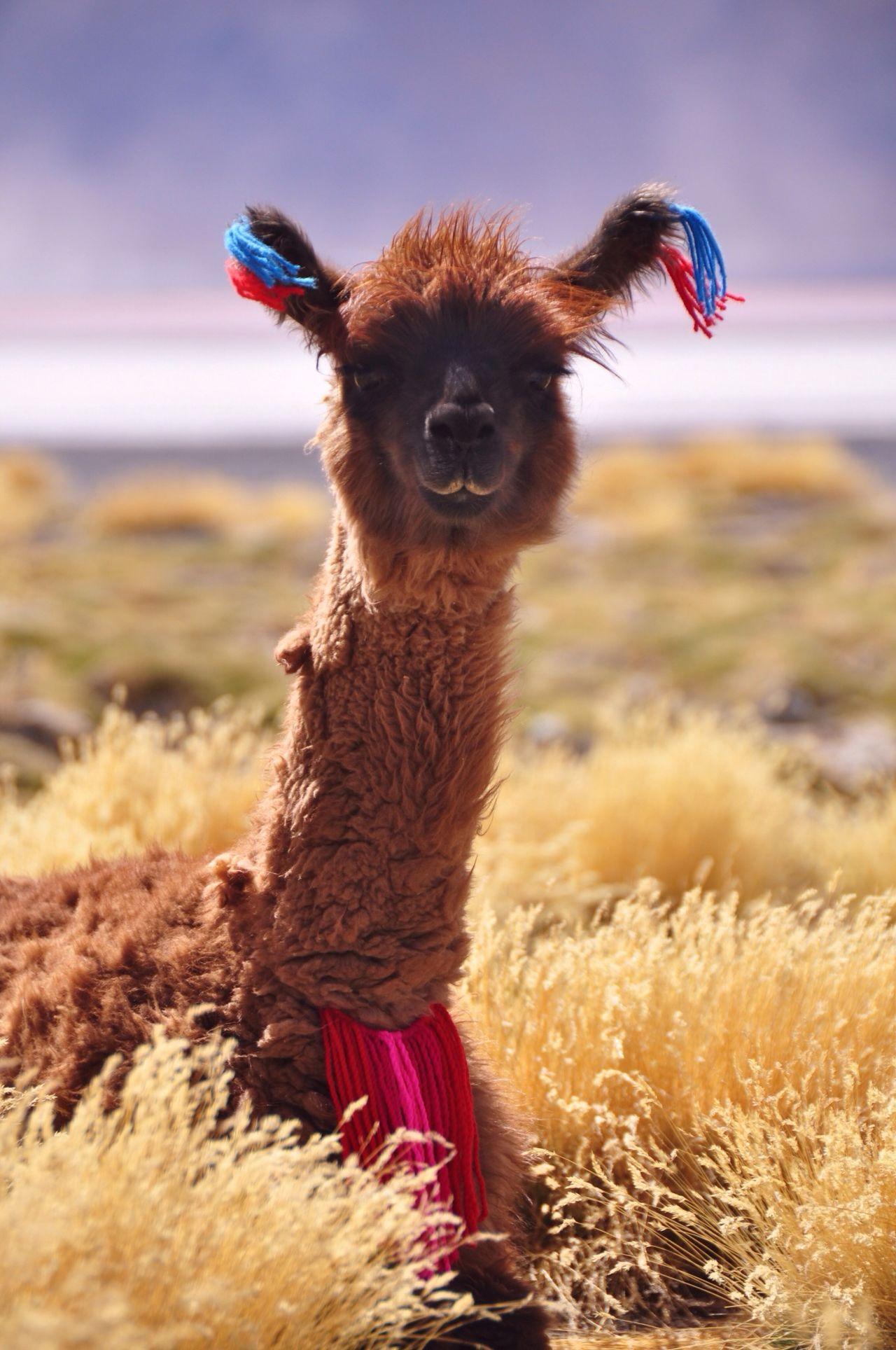 Bolivia Uyuni Alpaca