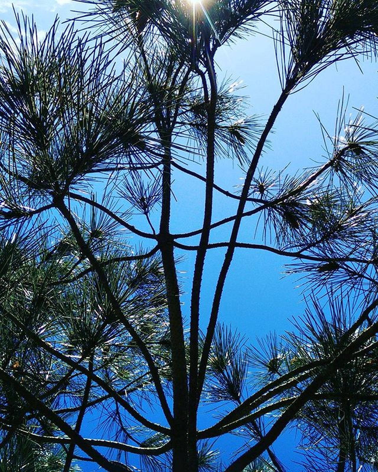 Pinetree@Spring. Naturalworld Natureperfection Tree Green Blue Sun Sunny Spring Instagram Instadaily Pattern Natura Gardner Garden Instagood Outdoorphotography Outdoors Naturephotography Perfectsquare Pinetree .
