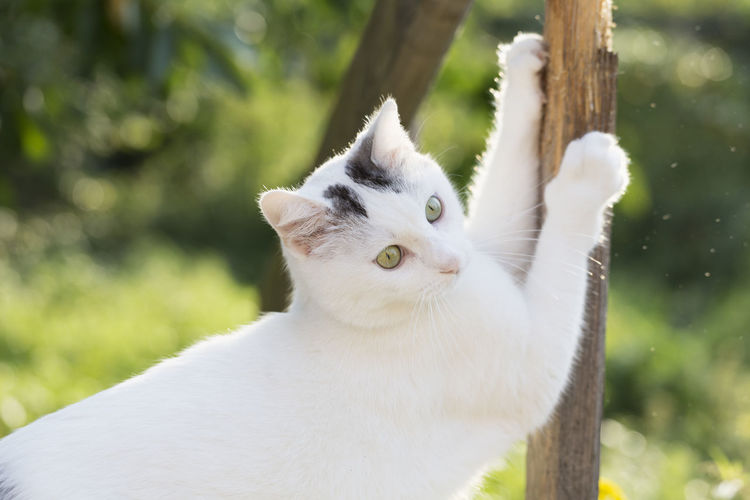 white cat with black spots scratching at railing Pet Portraits Animal Themes Close-up Day Domestic Animals Domestic Cat Feline Focus On Foreground Mammal Nature No People One Animal Outdoors Pets Portrait Scratching White Color