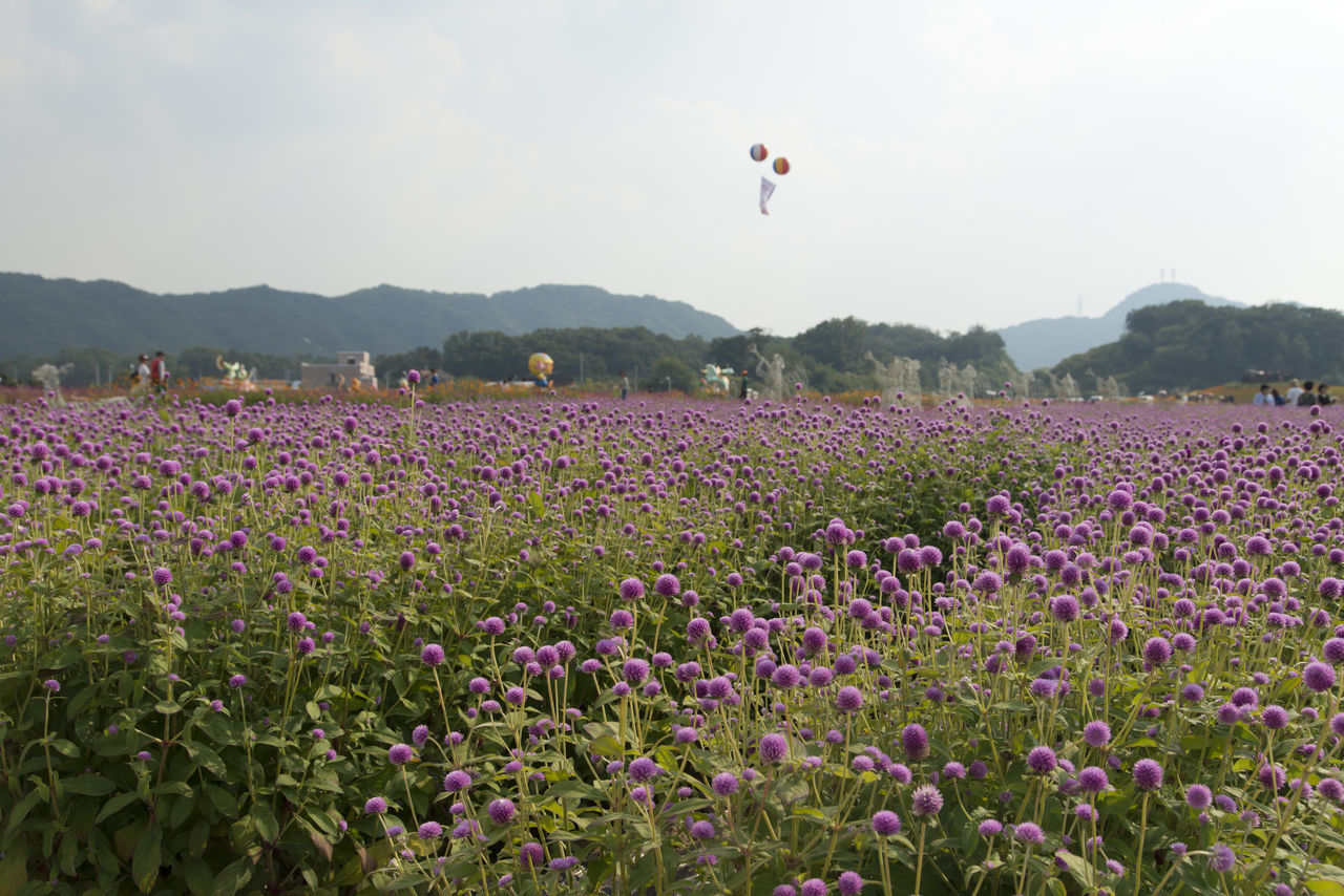 festival of globe amaranth flower with bellvedere at Nari Park in Yangju, Gyeonggido, South Korea Globe Amaranth Flower Agriculture Beauty In Nature Day Field Flower Freshness Globe Amaranth Growth Mountain Nature One Person Outdoors Park People Plant Real People Rural Scene Scenics Sky Tranquility