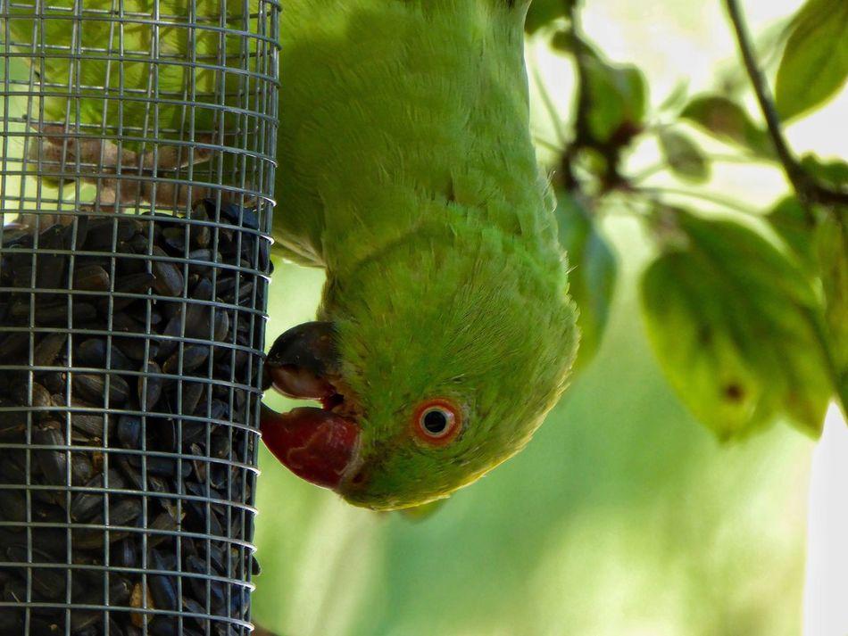 Bird Bird Photography Birds_collection Birdwatching Parakeet Parakeets Rose Ring Parakeet Rose Ringed Parakeets Rose-ringed Parakeets Rose-ringed Parakeet Eyeseeyou Eye See You Eye See You..... Eye See U Eye See You... Bird Selfie Bird Closeup Bird Close Up