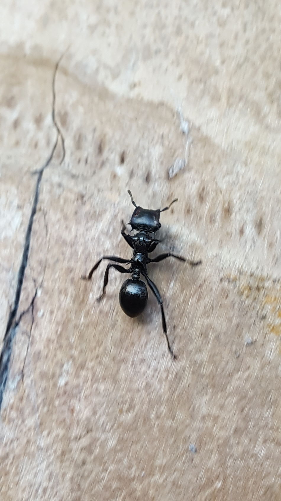Insect Close-up Nature Outdoors Animal Wildlife Beauty In Nature Ant Black Ant