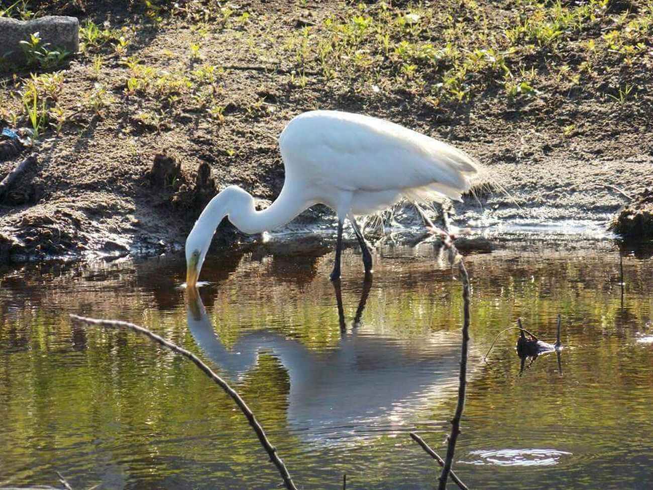 Birds_collection Floridalife Water Reflections Snowy Egret