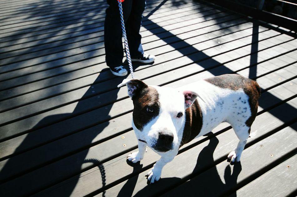 Beautiful stock photos of pitbull, Animal Themes, Boardwalk, Chain, Day