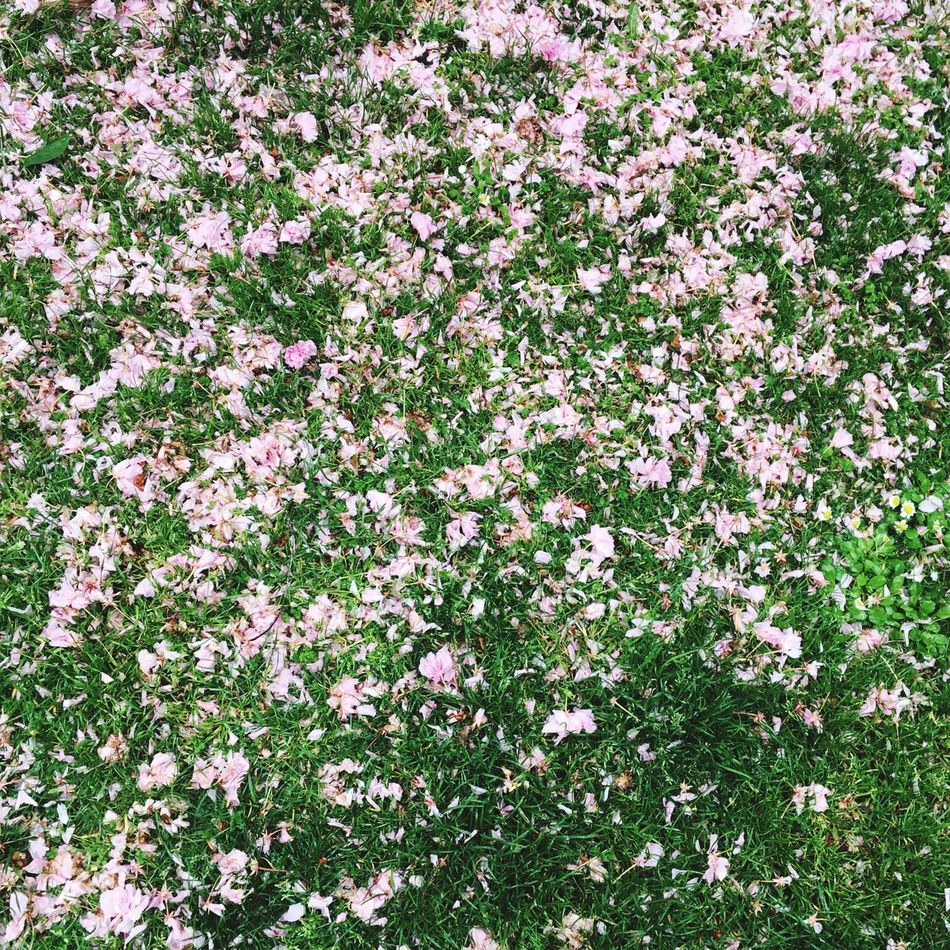 Flower petals on grass Flowers Pink Color Green Color Grass Sunlight Backgrounds Nature Springtime Spring Freshness Blossom Blooming No People