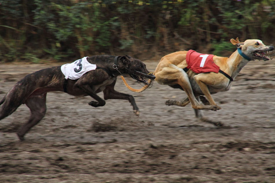Competition Day Dog Greyhound Racing Hound No People Outdoors Racing Run