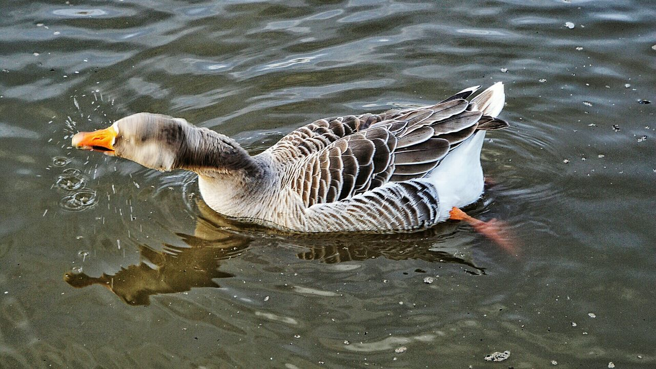 Close-Up Of Goose Swimming In Lake