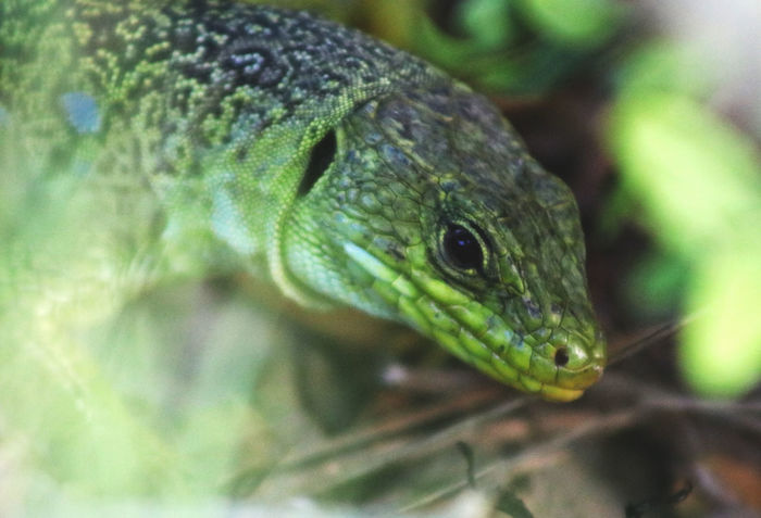 Animal Themes Animal Wildlife Animals In The Wild Canon Canonphotography Close-up Day France Green Color Montpellier Nature No People One Animal Outdoors Photoftheday Photography Pic Saint Loup Reptile Tranquility Travel Travel Destinations
