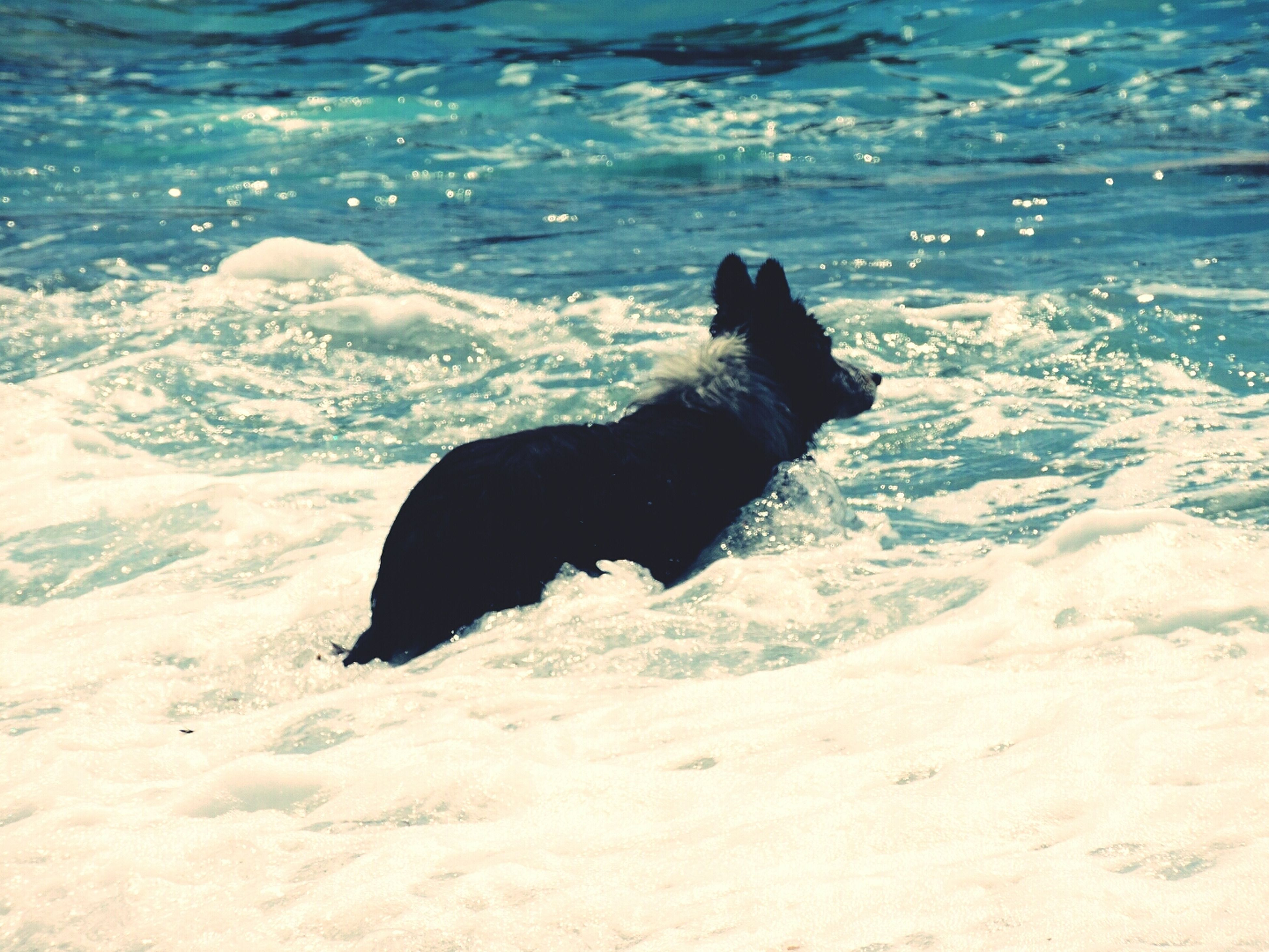 animal themes, one animal, mammal, domestic animals, pets, black color, water, nature, zoology, snow, dog, side view, full length, vertebrate, animal, no people, outdoors, sea, winter, day