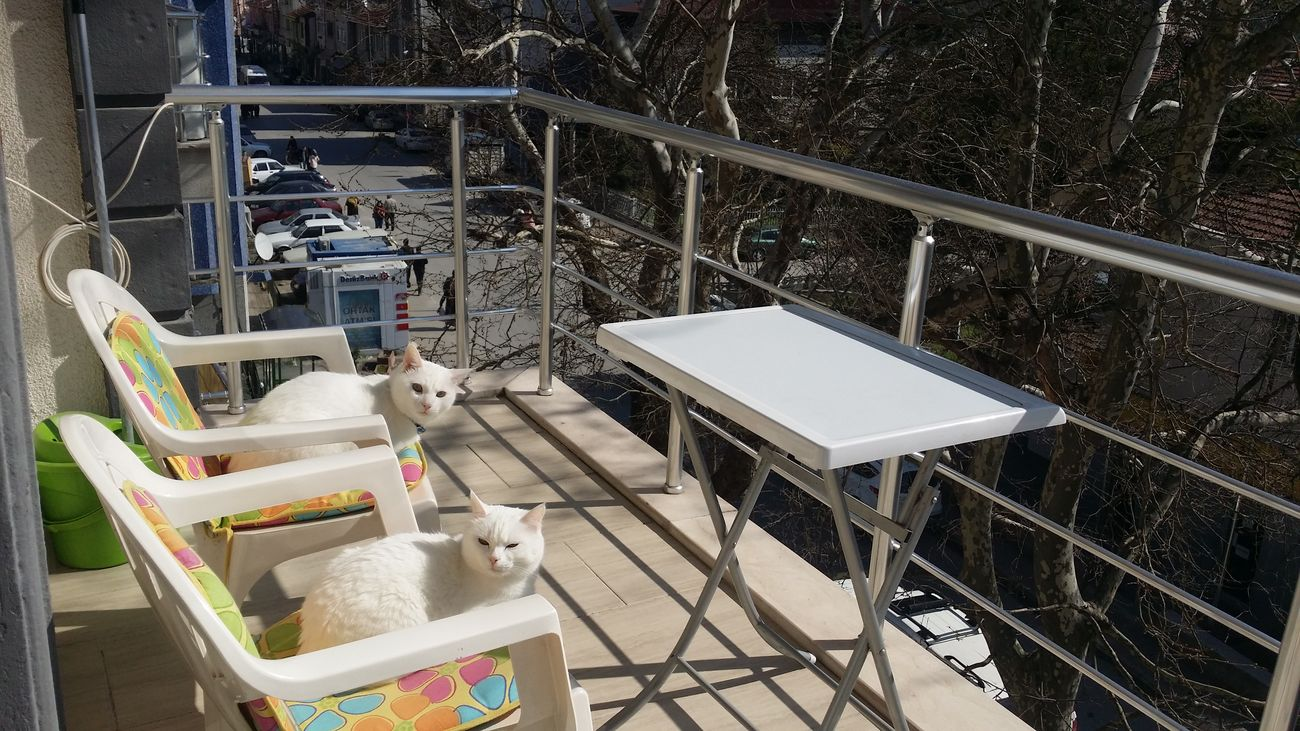Cats Of EyeEm Cats White Cats Ankara Kedisi Outdoors My Cats