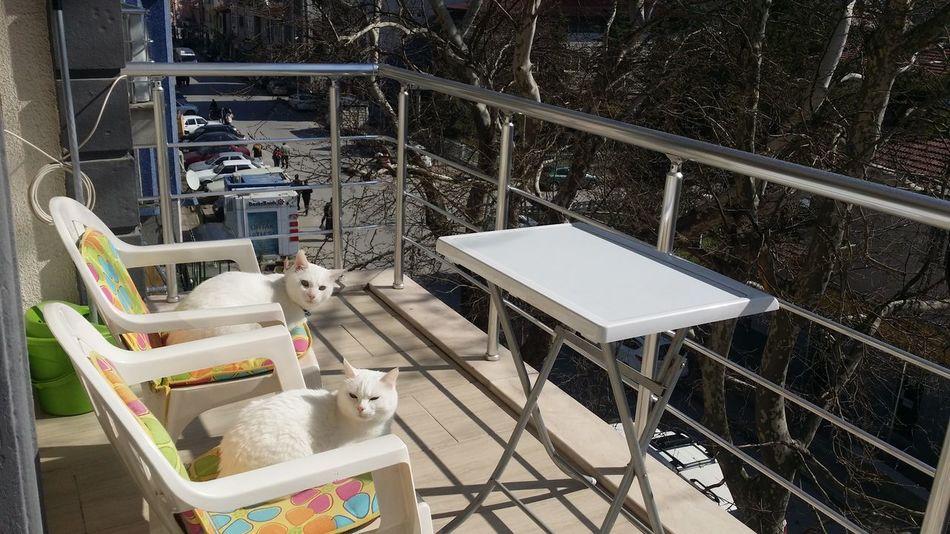 Cats Of EyeEm Cats White Cats Ankara Kedisi Outdoors My Cats