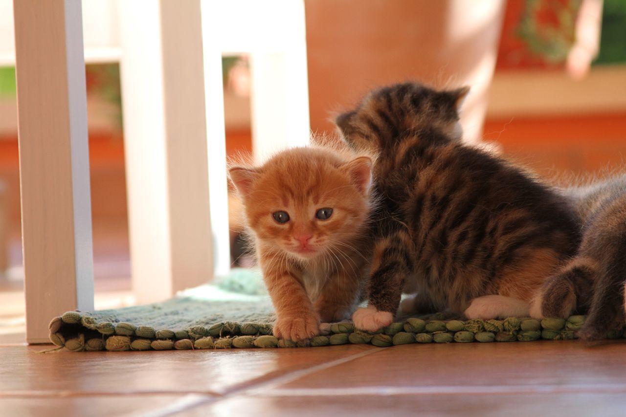 Cat Babycat Littletiger Cats Animals Pets