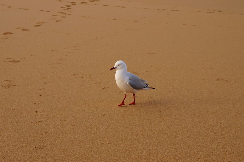 Australia Animal Themes Animal Wildlife Animals In The Wild Beach Beauty In Nature Bird Day Nature No People One Animal Outdoors Perching Sand Sea Seagull Shore Water