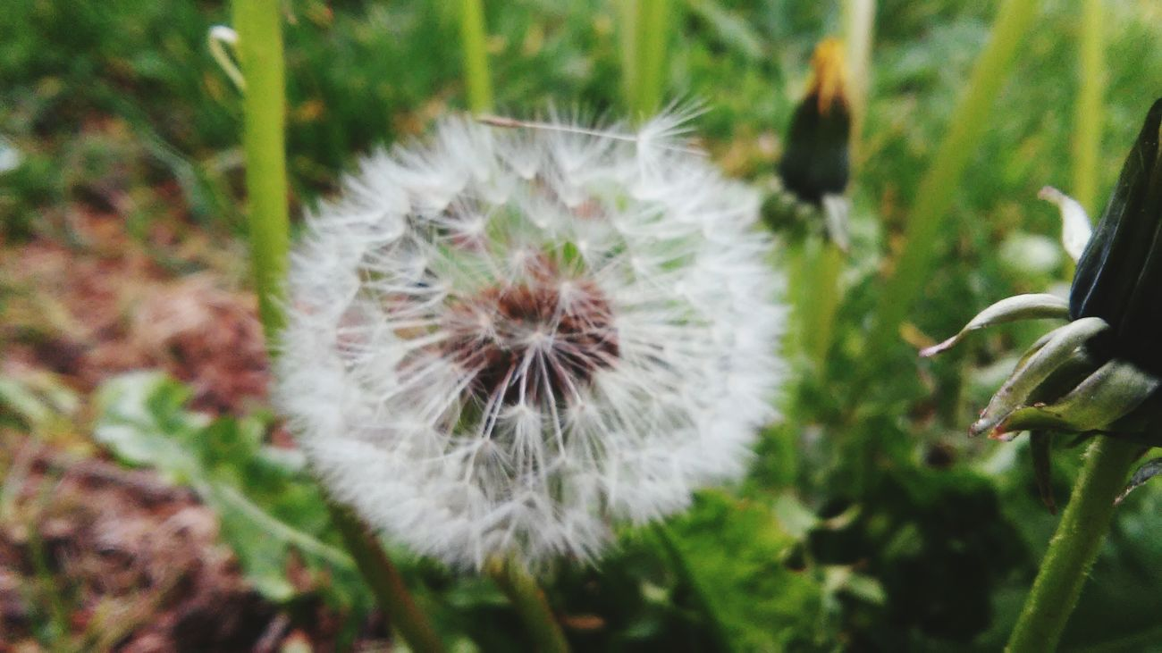 Rainy Days Dandelions Make A Wish ! Flowers,Plants & Garden Seattle White Fluffy OpenEdit