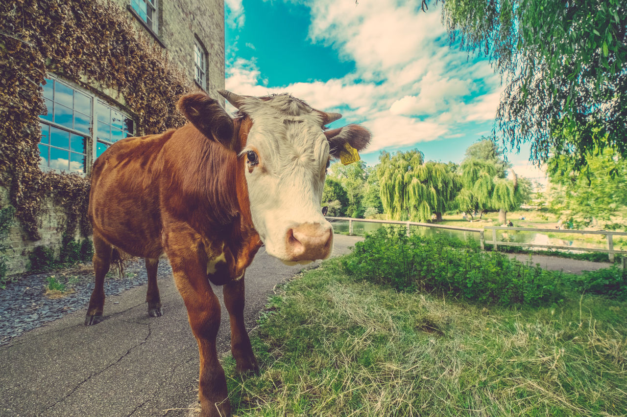Cows are just allowed to walk around Cambridge! Cambridge Cloud Cow Cowportrait Cows Day England Grass Livestock No People