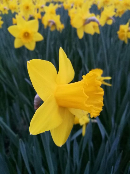 Yellow Flower Daffodil Close-up Flower Head Freshness Nature Flowers, Nature And Beauty Growth Yellow Flowers Spring Springtime Yellow Bloom