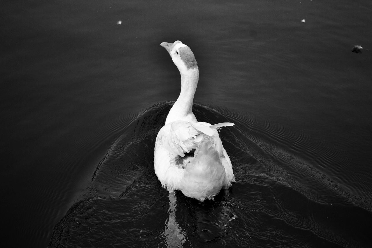 Duck Water Animal Themes Animals In The Wild Bird One Animal Lake Animal Wildlife High Angle View Waterfront Nature No People Water Bird Day Swimming Outdoors Swan Close-up Duck Naturephotography Nature Beautiful Awesome