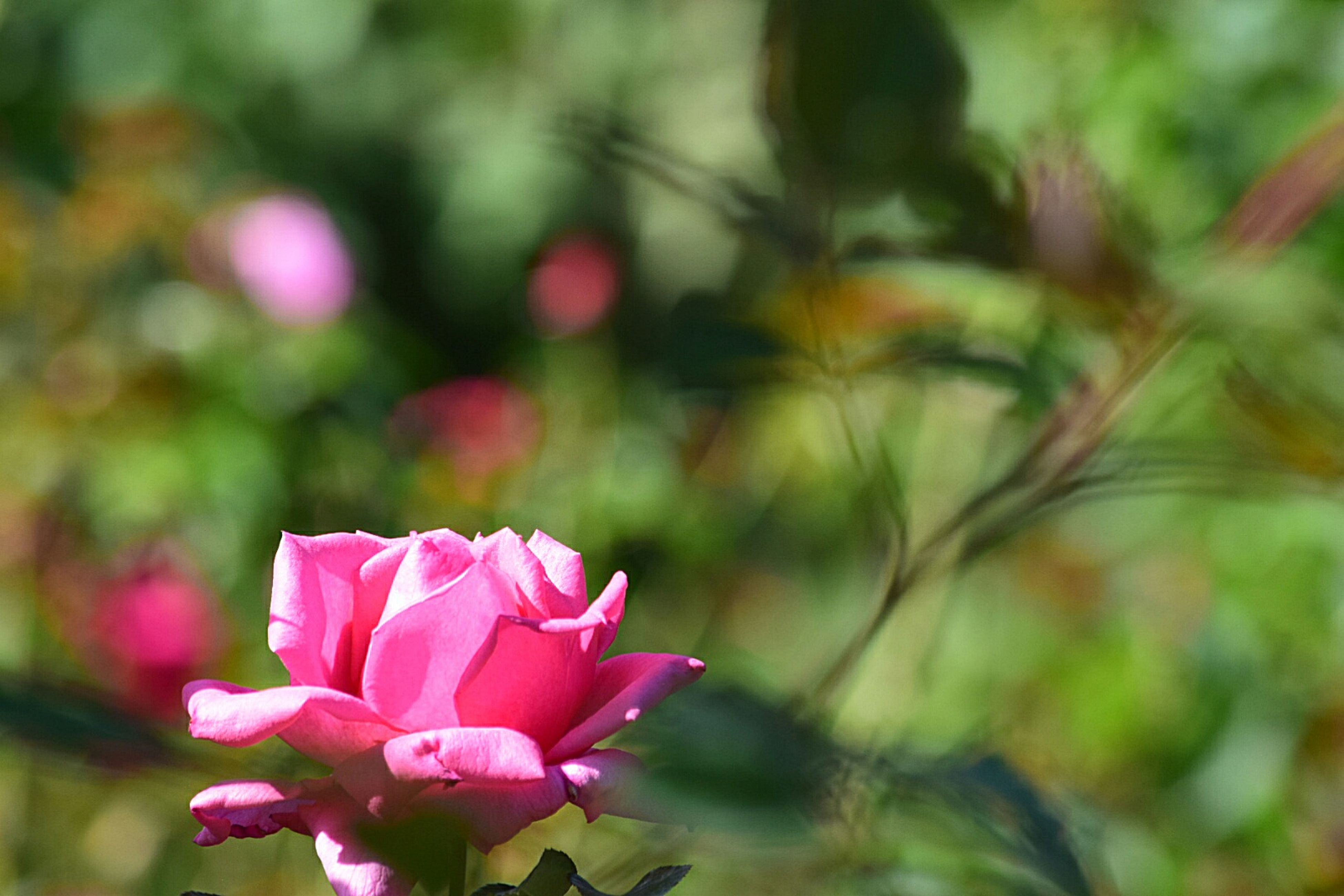 flower, petal, fragility, focus on foreground, freshness, flower head, growth, pink color, beauty in nature, close-up, blooming, plant, nature, in bloom, selective focus, stem, outdoors, park - man made space, day, blossom