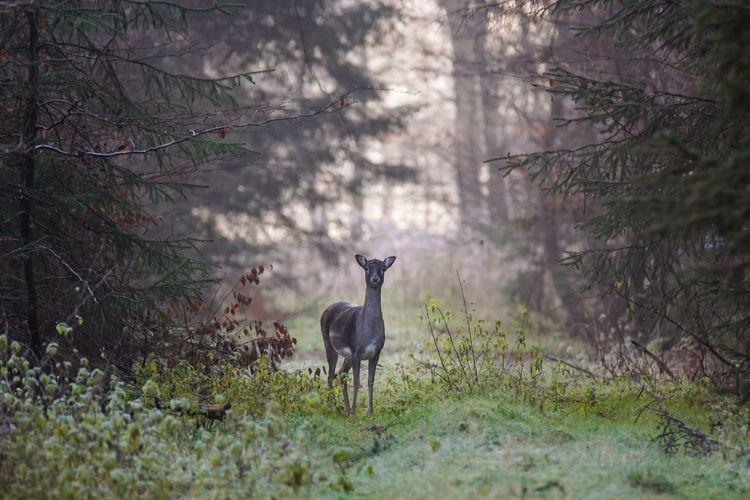 Damwild Wildlife Animals Animals In The Wild Nature Forest Trees Grass Animal Themes Handewitter Forst Schleswig-Holstein Beauty In Nature Deer One Animal