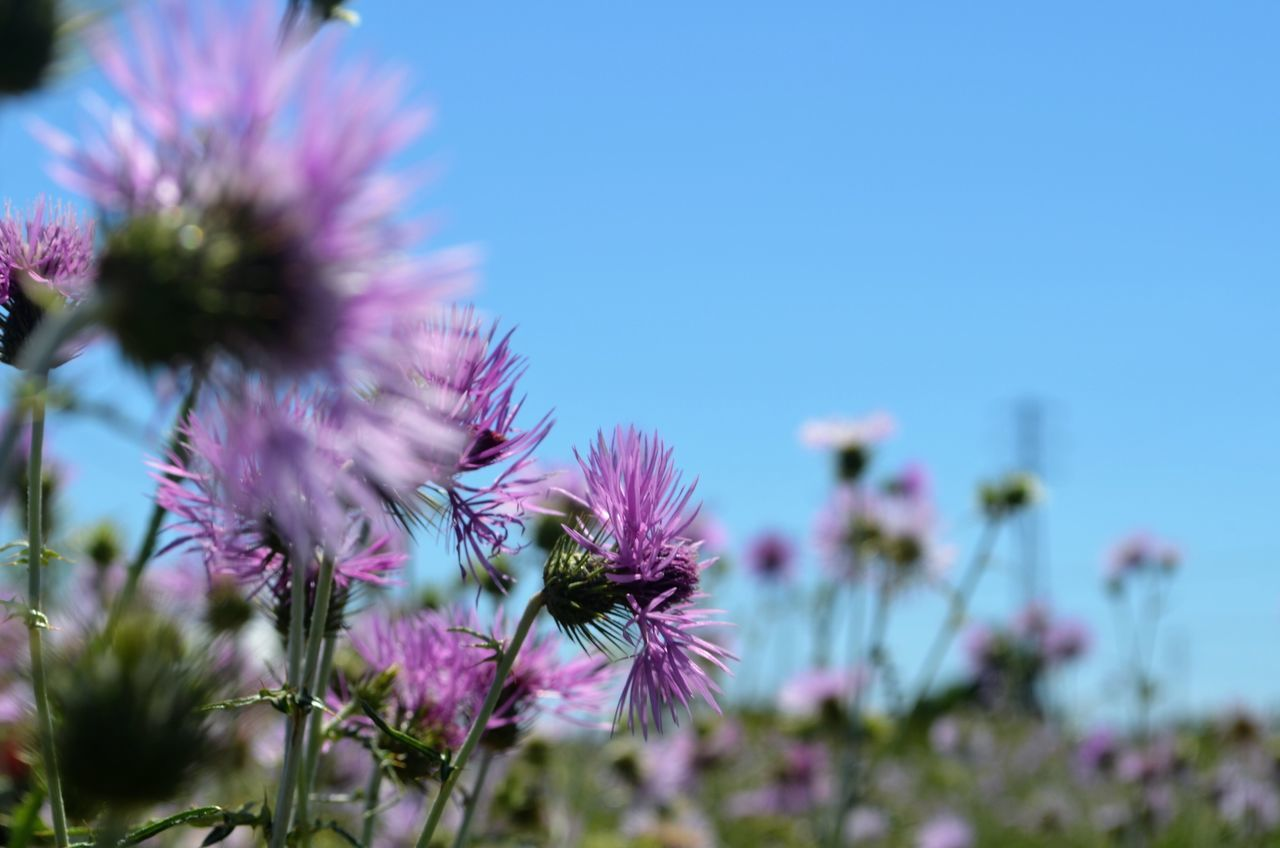 Flower Fragility Nature Growth Plant Beauty In Nature Freshness Petal No People Purple Flower Head Day Blooming Outdoors Clear Sky Close-up Thistle EyeEm Gallery EyeEm Nature Lover On The Road