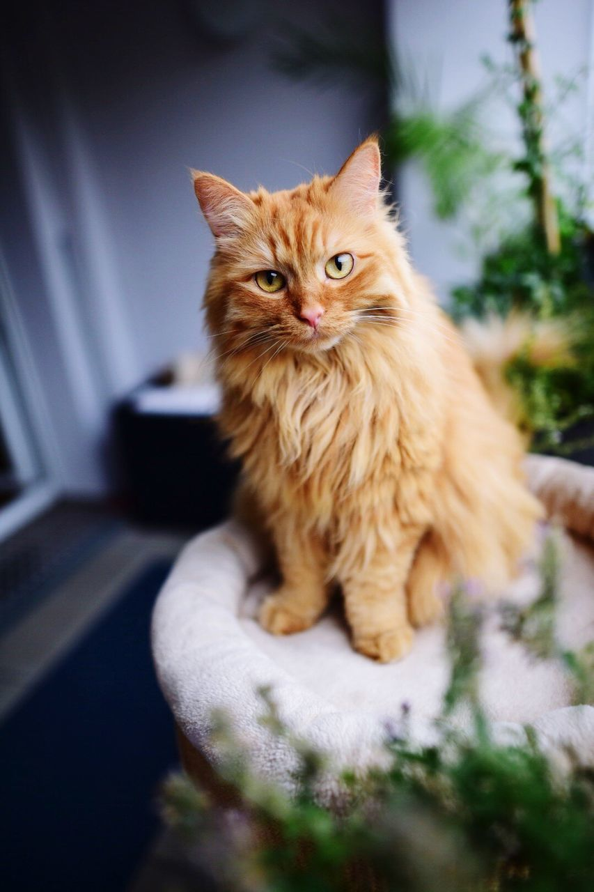 domestic cat, domestic animals, one animal, pets, mammal, animal themes, feline, no people, persian cat, indoors, day