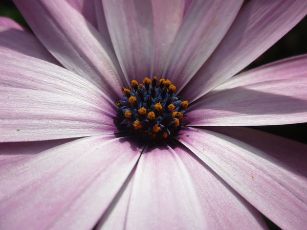 African Daisies Daisies Daisy Winter Flowers African Daisy Backgrounds Beauty In Nature Blooming Close-up Day Flower Flower Head Fragility Freshness Full Frame Growth Nature No People Osteospermum Outdoors Petal Pollen Purple
