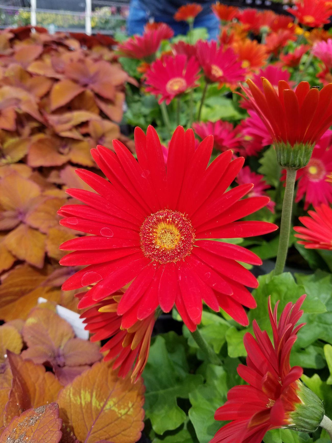 Flamboyant Garden Nature Ujustgotkaied Flowers Petals Bright Red