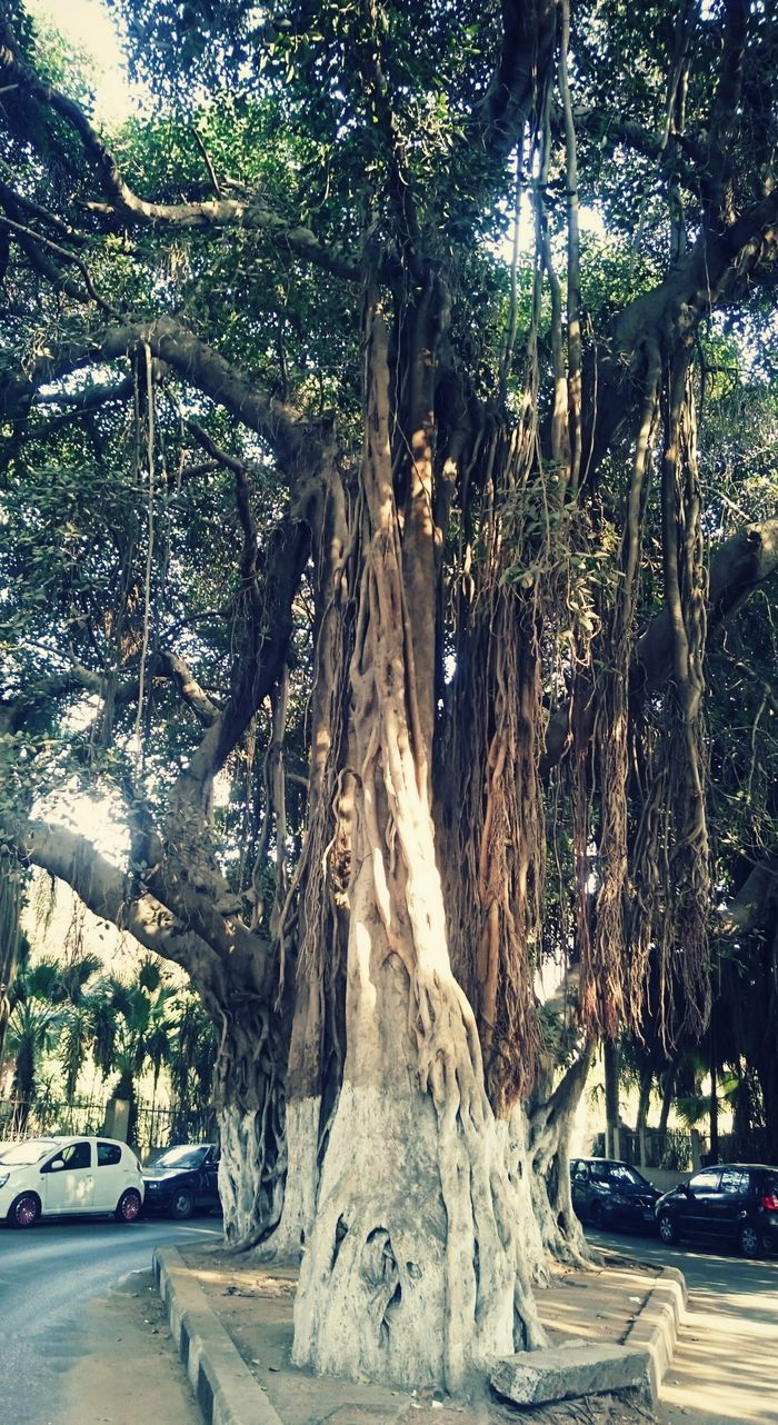 Tree Nature Old Zamalek Cairo Cairo Egypt Egypt