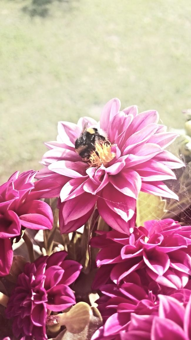Animals In The Wild Balcony Balcony Garden Balcony View Balkon Beauftiful Beauty In Nature Bumblebee Close-up Dahlia Dahlie Day Flower Green Growth Hummel In Bloom Insect Nature One Animal Pink Pink Color Plant Pollination Springtime