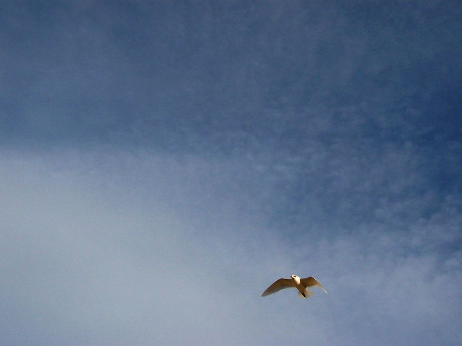 Flying Bird Sky Animals In The Wild Low Angle View Mid-air Animal Wildlife Animal Themes One Animal No People Cloud - Sky Outdoors Horizontal Spread Wings Airplane Day Nature Blue Sky Blue Azure Sky capturing motion