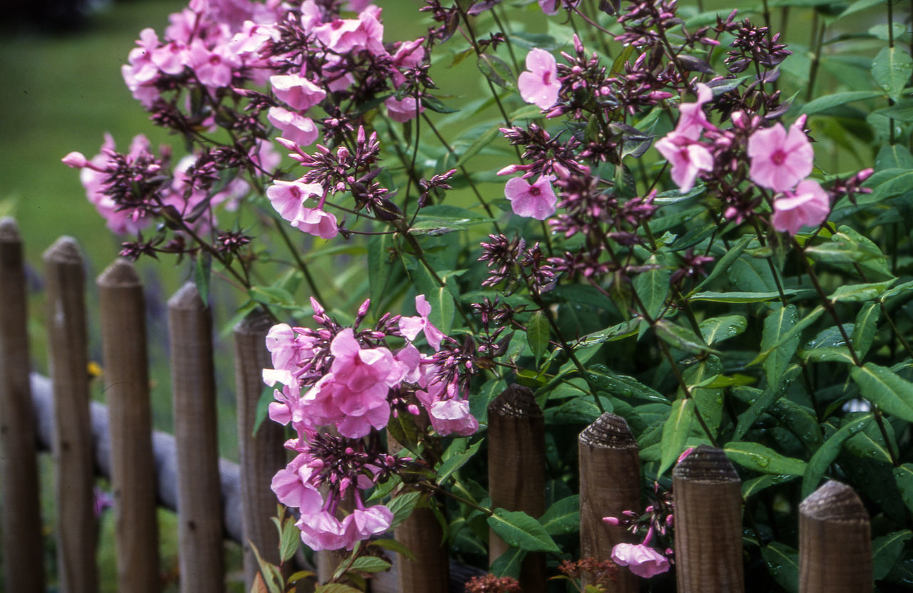 CLOSE-UP OF PINK FLOWERS ON RUSTIC FENCE